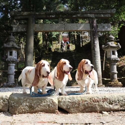 三多気の桜0012
