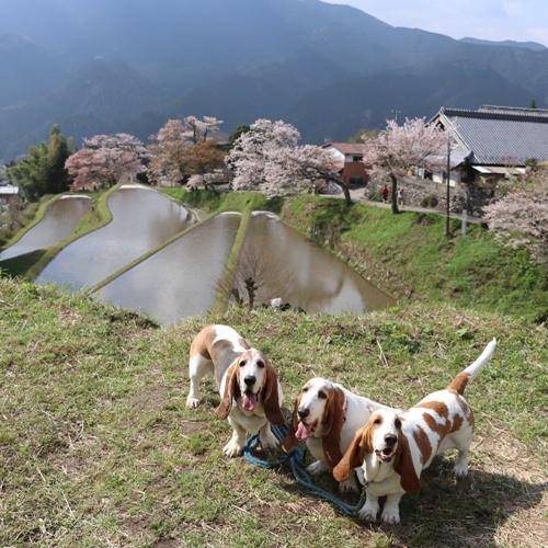 三多気の桜0011