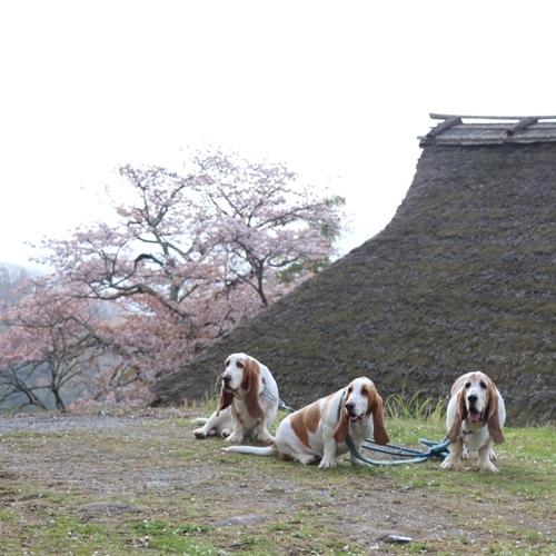 三多気の桜0009