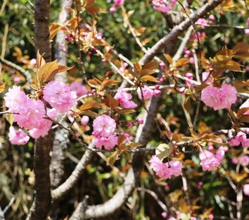 三多気の桜0022