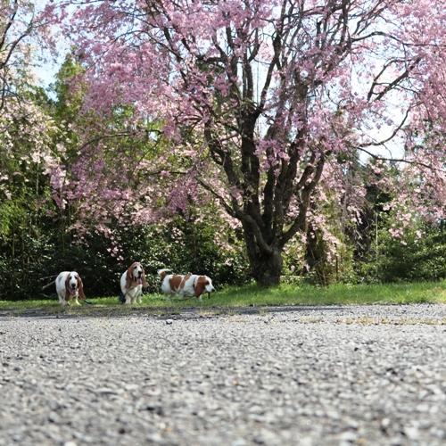 三多気の桜0021