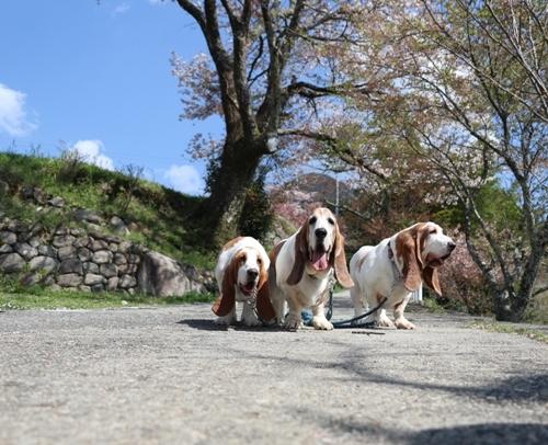 三多気の桜0017