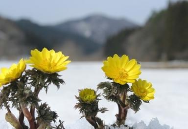2月の季語「福寿草」
