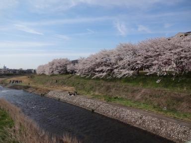 祭り会場の桜