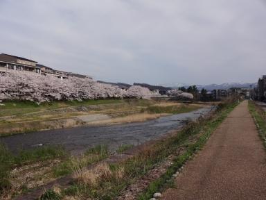 桜の名所・若松橋から
