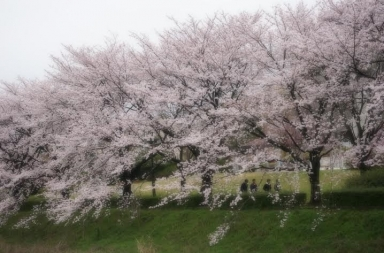 中村さんから桜の写真を
