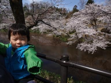 鈴見大池桜