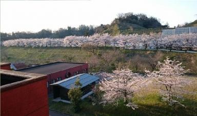 金大知識の桜並木