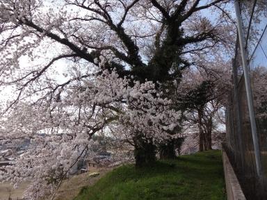 昭和天皇即位記念の桜
