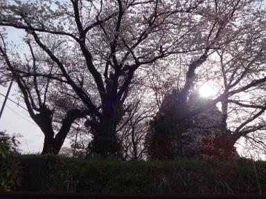 即位記念桜①