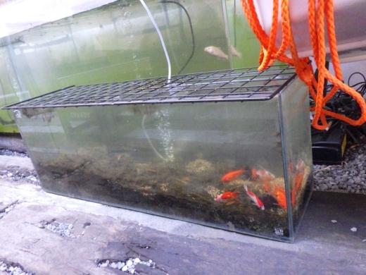 金魚が流行り (1)