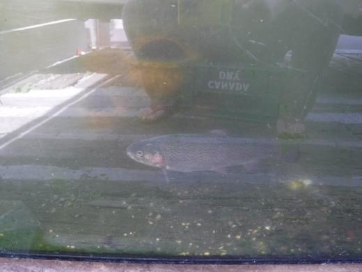 釣ってきた鯉 (3)