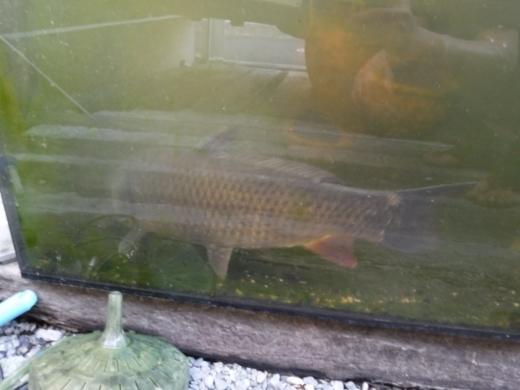 釣ってきた鯉 (4)