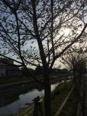行田市駅周辺 星川の桜 田口不動産