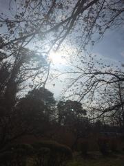 水城公園 田口不動産 桜 2017