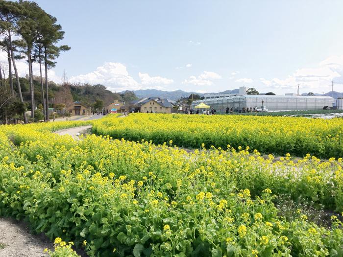 淡路島旅行記イングランドの丘菜の花畑