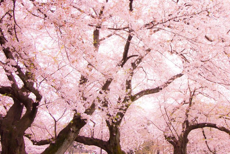170228桜報恩