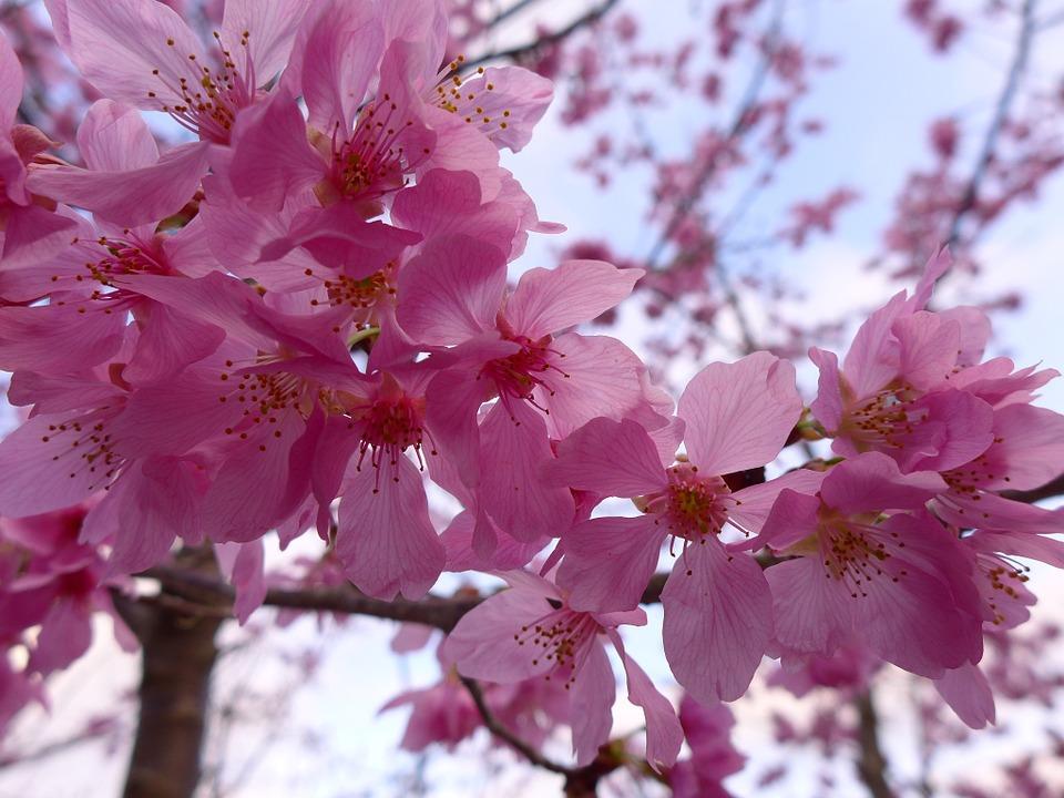170305二月闘争桜