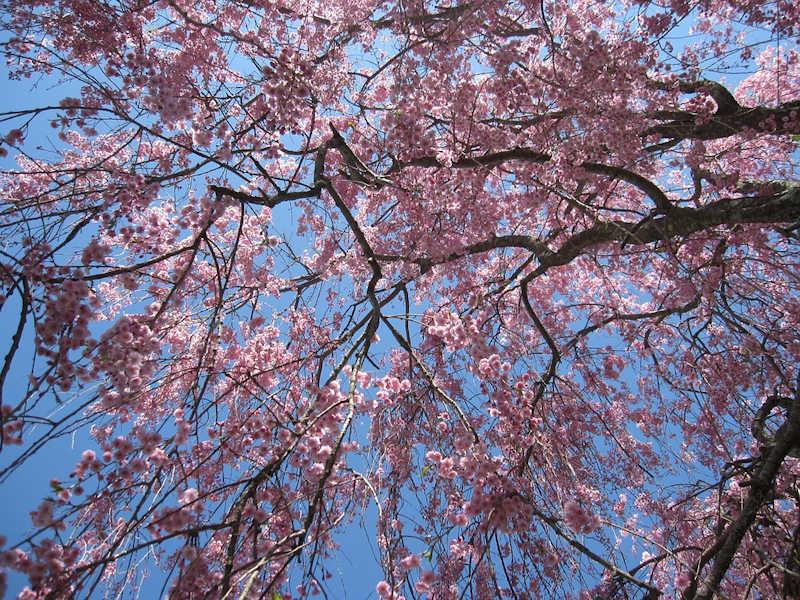 170324しだれ桜