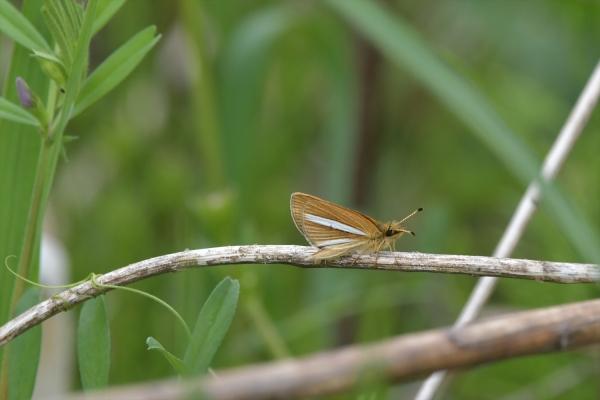 ギンイチモンジセセリ♂(春型)20170420-1