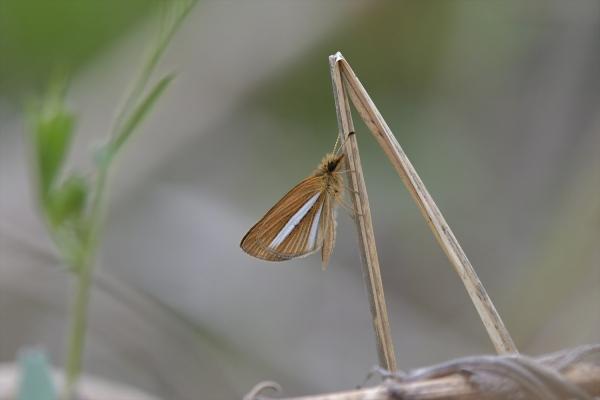 ギンイチモンジセセリ♂(春型)20170420-3