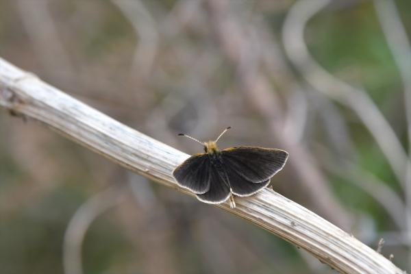 ギンイチモンジセセリ♂(春型)20170420-4