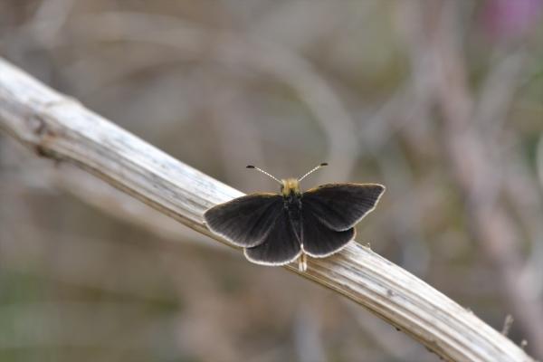 ギンイチモンジセセリ♂(春型)20170420-5
