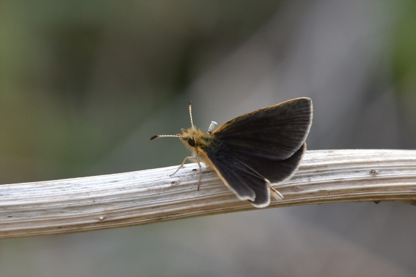 ギンイチモンジセセリ♂(春型)20170420-6