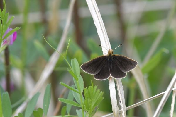 ギンイチモンジセセリ♂(春型)20170420-7
