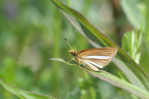ギンイチモンジセセリ♀(春型)