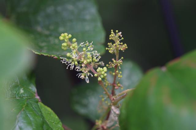 エビヅル(葡萄蔓、蝦蔓)