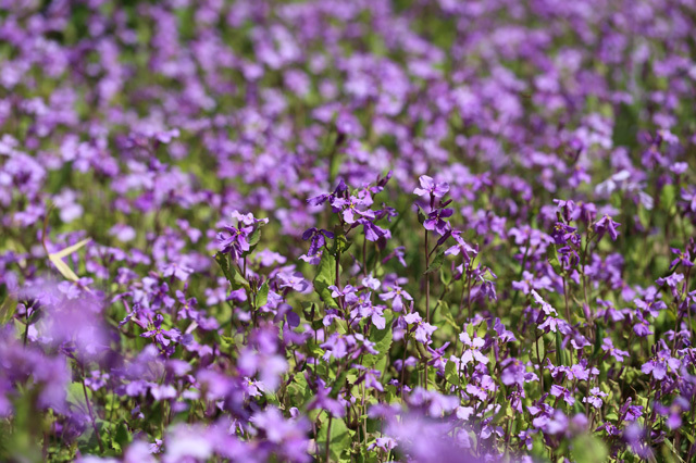 オオアラセイトウ(大紫羅欄花)