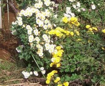 生ゴミと菊