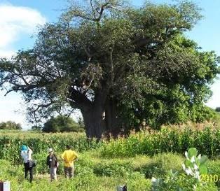 タンザニアで見た巨木