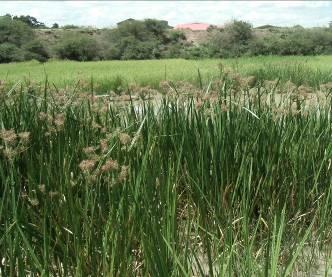 マダガスカルの巨大カヤツリグサ2