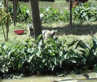 マダガスカル自然公園のキツネザル