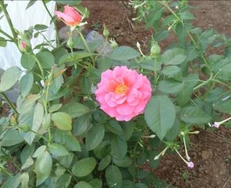 マダガスカル庭にある花2