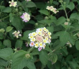 マダガスカルのラヂカの花1