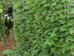 無耕起無堆肥のニガウリ