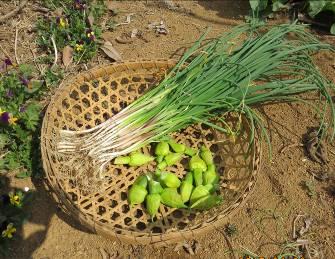 野菜収穫物アサツキとネギ坊主