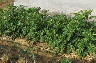 オートの表層施用とジャガイモの枝葉