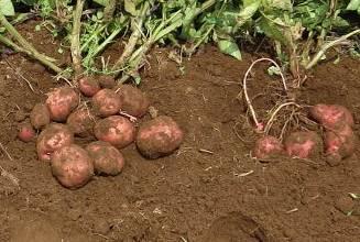 オート表層施用とジャガイモの太り
