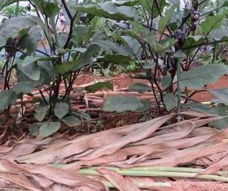 緑肥ソルゴーマルチ