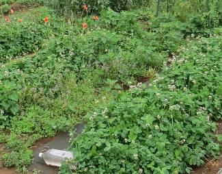 緑肥白クローバー