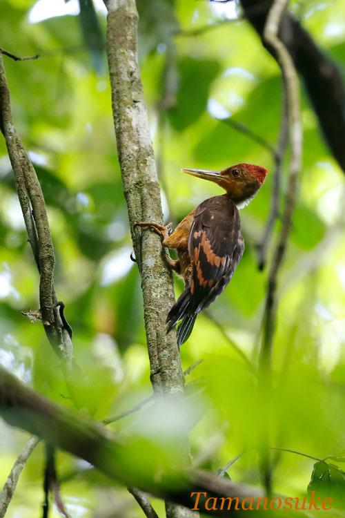 Orange_backed_woodpecker_1.jpg