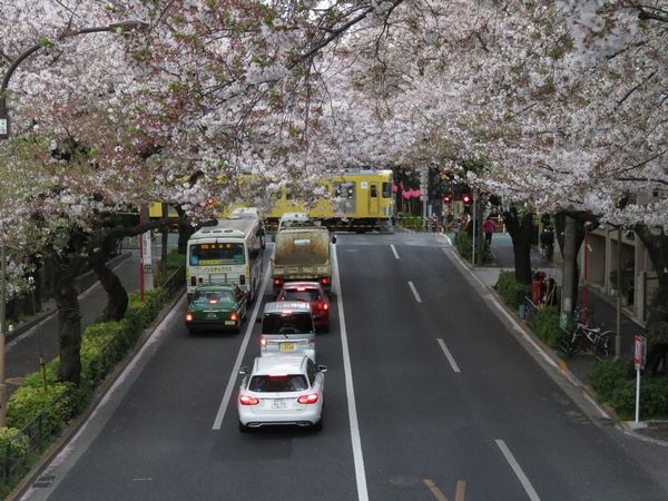 新井薬師前~沼袋間で交差する中野通りの桜並木。