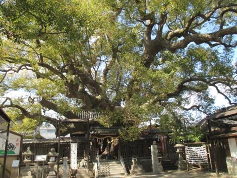 三島神社 ・ 薫蓋樟