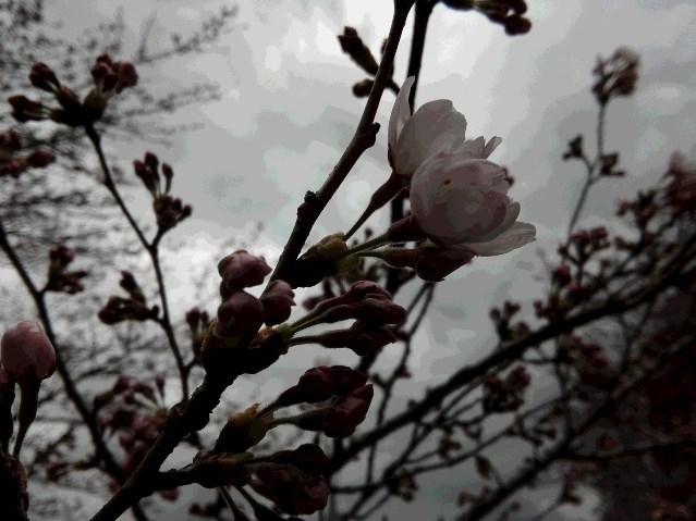 20170406桜