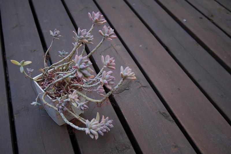 桜牡丹05