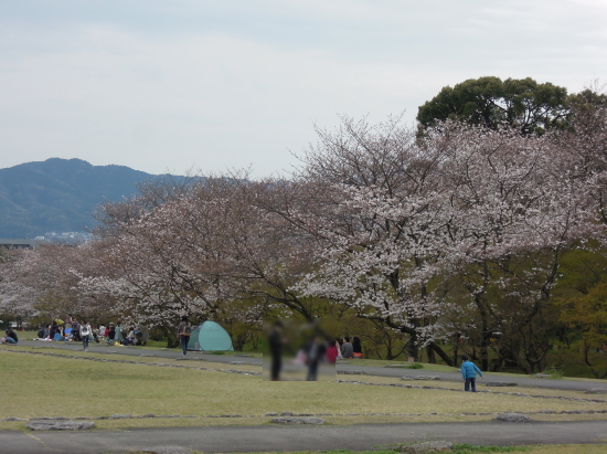 大宰府政庁跡の桜170405-1